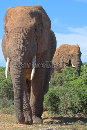elephants in the african bush