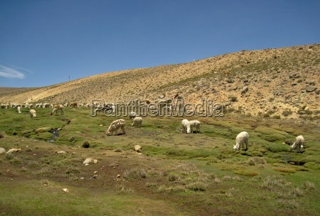 lama flock in peru