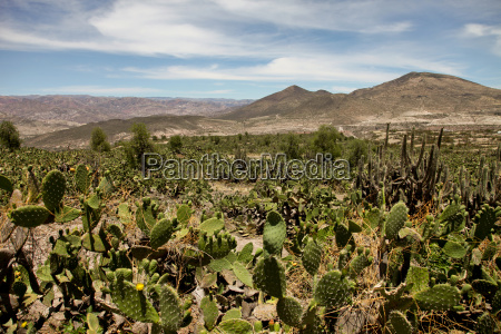 cacti in the andes