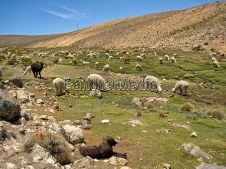 llama herd in peru