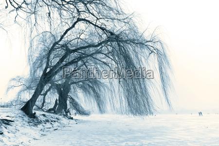 trauerweide an der winterlichen alster