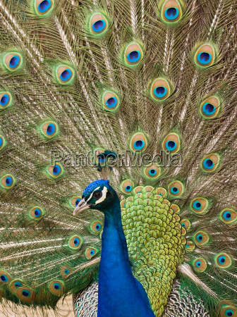 blue peacock showing feathers
