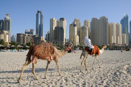 kamele am strand in dubai