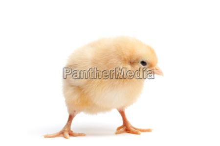 funky chicken isoliert auf weiss