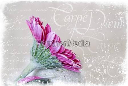 gerbera und illustration