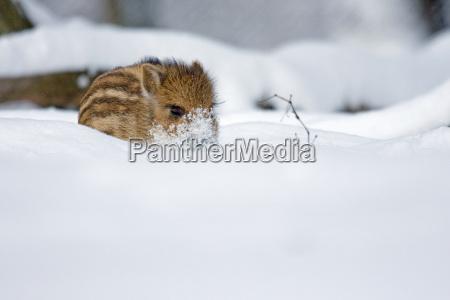 frischling im schnee