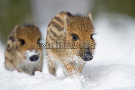 jabali en la nieve