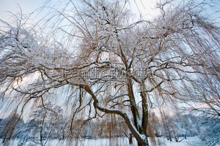 trauerweide im winter