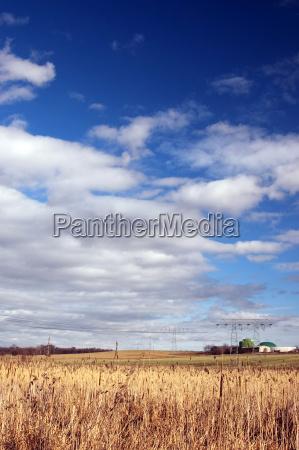 gelbes schilf und weisse wolken