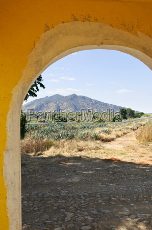 landscape with agave cactus field in