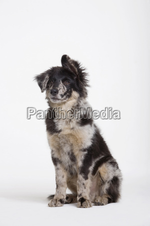 dog sitting in studio portrait