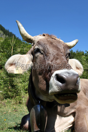 wiederkaeuende kuh