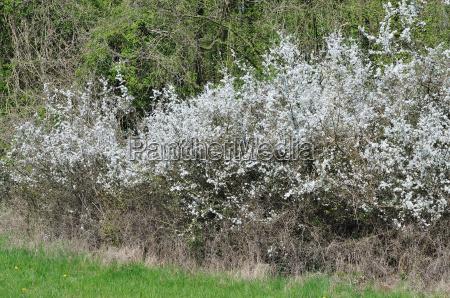 schlehe hecke prunus spinosa