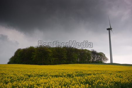 windrd at a rapeseed field 2