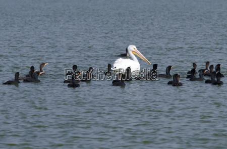 voegel pelikan verschieden andersartig verschiedene diverse