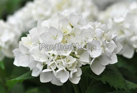 white hydrangea hortensia