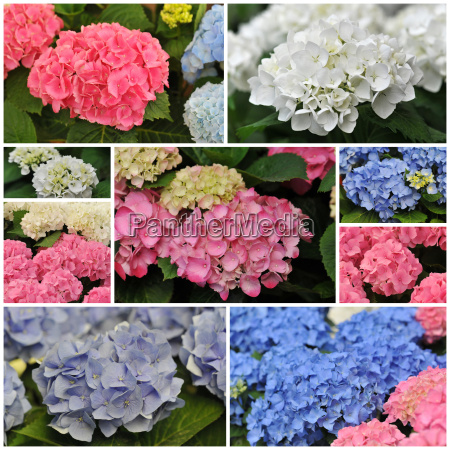 pink blue and white hydrangea hortensia