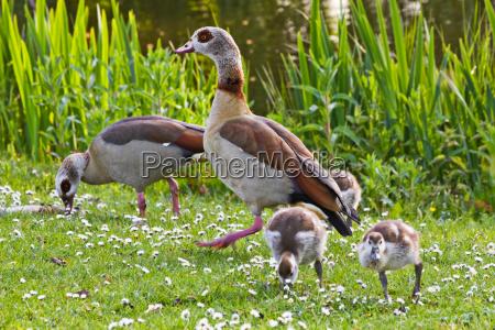 egyptian goose family in spring