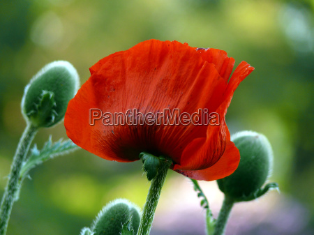 plant flower flowers flora poppy bud