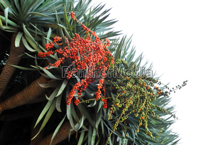 flora of madeira dragon tree