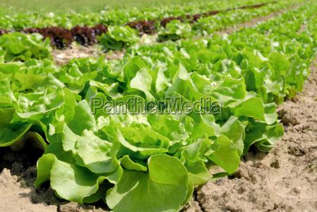 rows of lettuce before harvest
