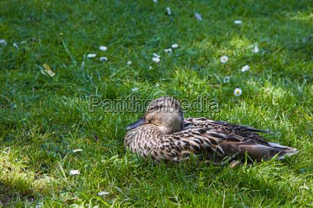 female wild duck resting in grass