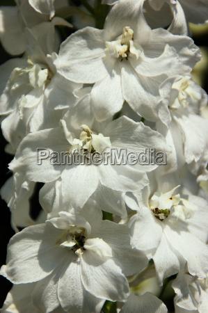 delphiniums white