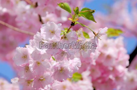 kirschbluete rosa cherry blossom 26