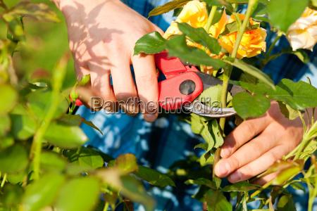 mann schneidet rosen im garten