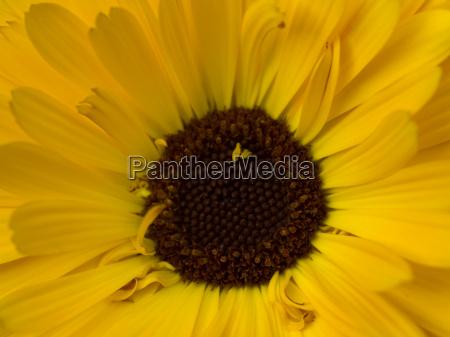 goldgelb calendula officinalis blume pflanzliche heilmittel