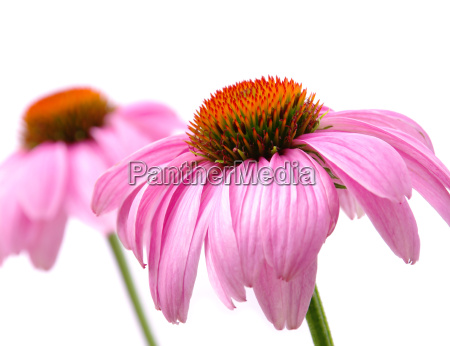 sonnenhut purpur purple coneflower 41