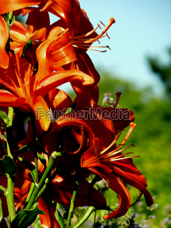 red lily 3