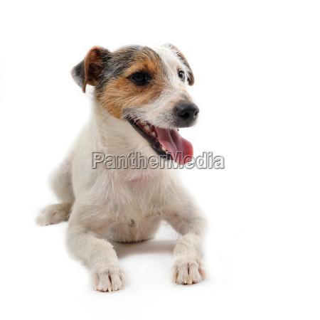 junge jack russel terrier
