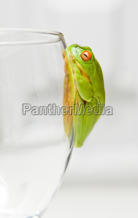 green tree frog on glass