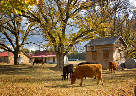 cows in autumn