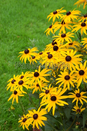 coneflower yellow rudbeckia
