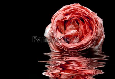 verwelkende rose