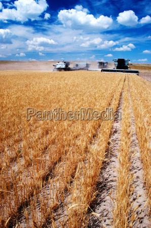 custom harvest combines harvest wheat near