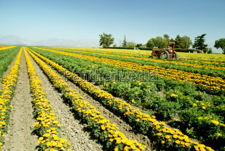 field of yellow flowers grown for