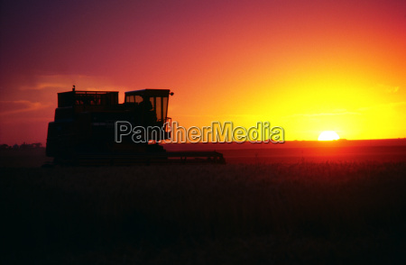 wheat harvest and a combine with