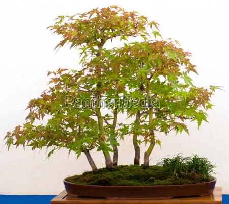 faecherahorn als bonsai wald