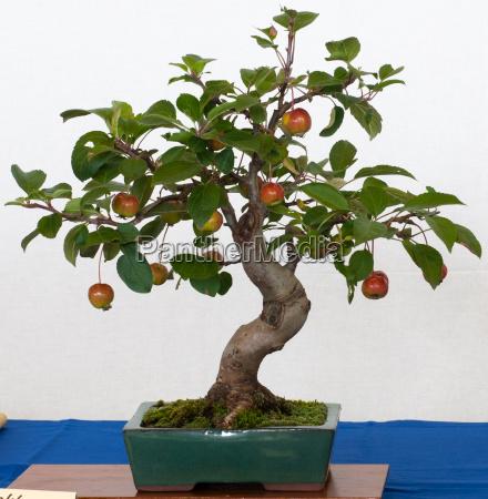 malus halliana als bonsai