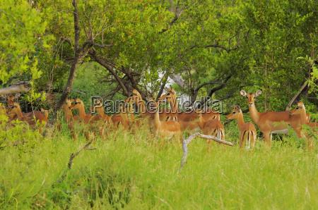 herde von impalas aepyceros melampus in