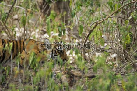 tiger panthera tigris cub ruht in