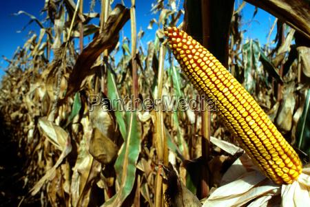 closeup of ear of corn in
