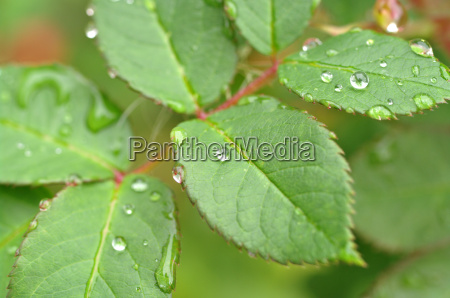 water drops on leaves