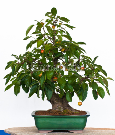 malus als bonsai