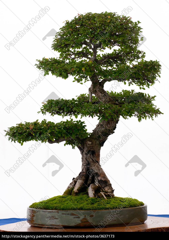 chinesische ulme als bonsai stockfoto 3637173. Black Bedroom Furniture Sets. Home Design Ideas