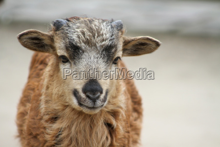 young cameroon sheep