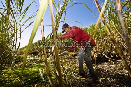 landwirt ernte zucker stoecke in einem